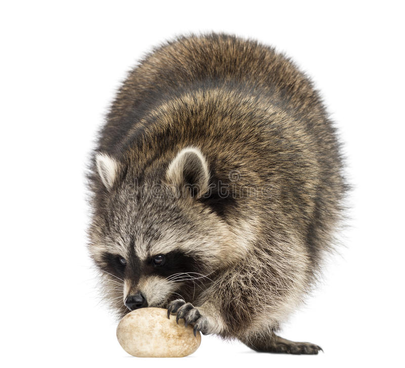 Racoon, Procyon Iotor, standing, eating an egg, isolated. On white royalty free stock photo