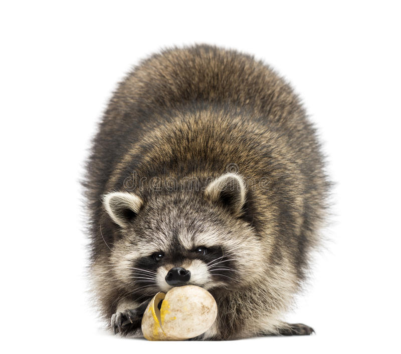 Racoon, Procyon Iotor, standing, eating an egg, isolated stock image