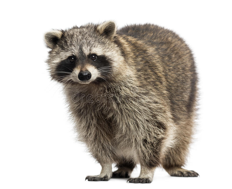 Racoon, Procyon Iotor, standing stock image