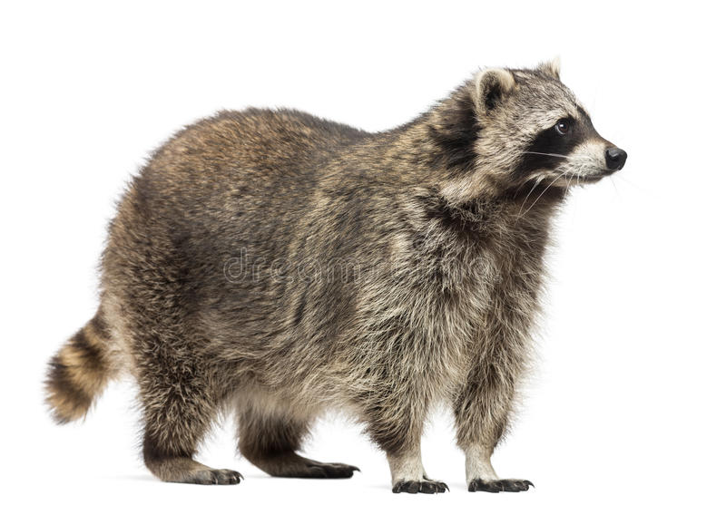 Racoon, Procyon Iotor, standing, isolated. On white stock images