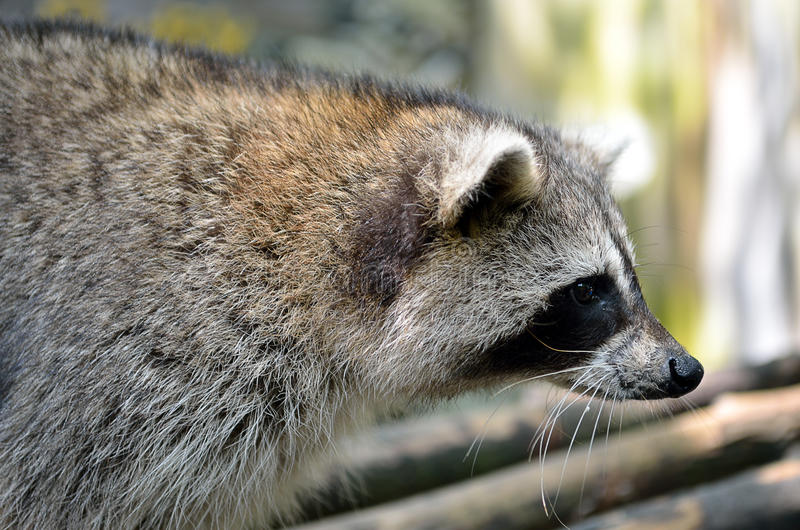Racoon (Procyon Iotor). Stock image of Racoon (Procyon Iotor royalty free stock photo