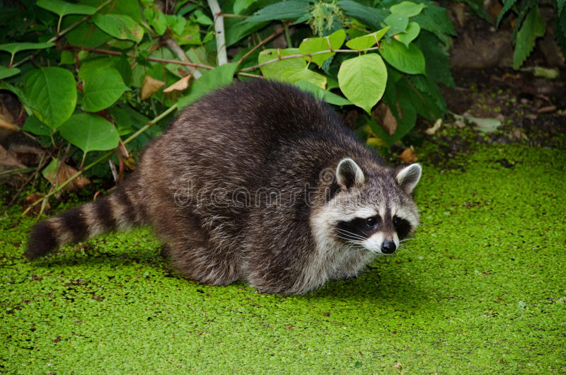 Racoon, Procyon lotor stock photography