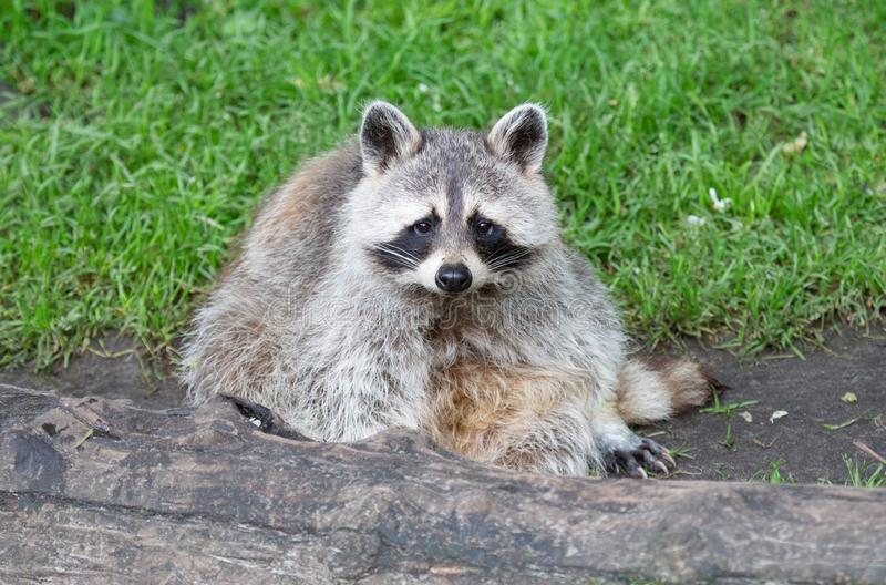 Racoon resting behind a big log royalty free stock image