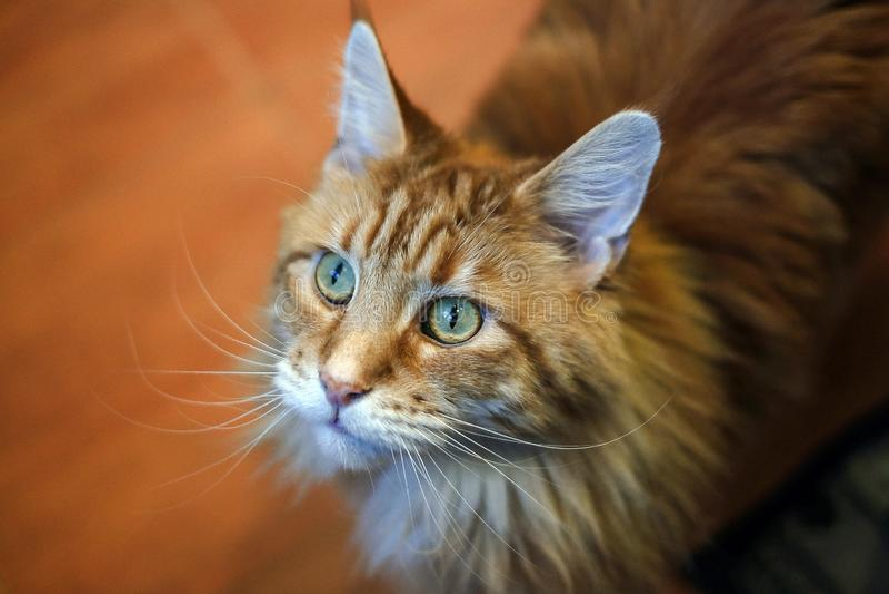 Racum principal do gato com olhos vermelhos imagem de stock royalty free