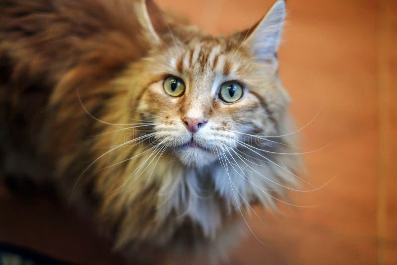 Racum principal do gato com olhos vermelhos fotografia de stock