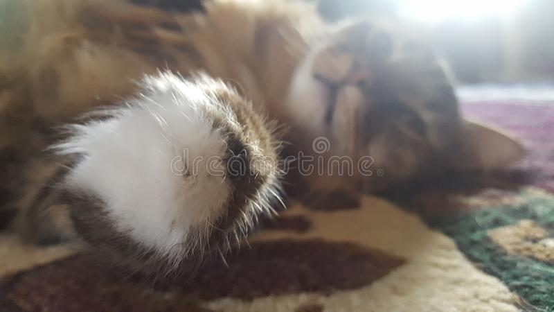 Racum principal felino fotografia de stock royalty free