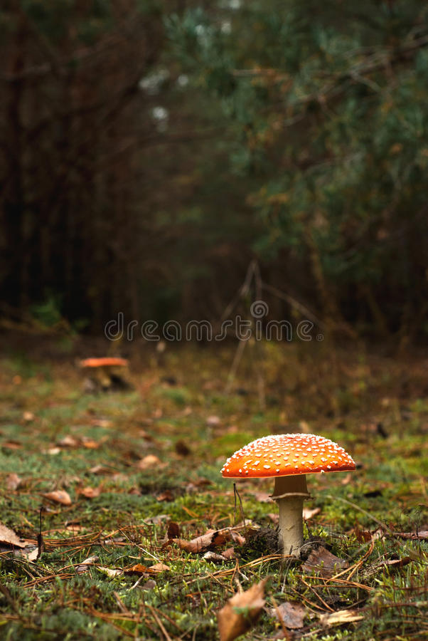 Racy fly-agaric. Red poisonous mushroom with white dots in the deep pine forest stock image