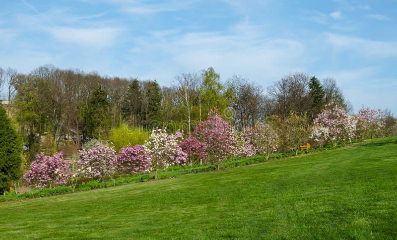 Rad av att blomma magnolior i botaniska trädgården i Niemcza, Polen Linje av magnoliaträd på den gröna kullen Landskap med royaltyfri foto