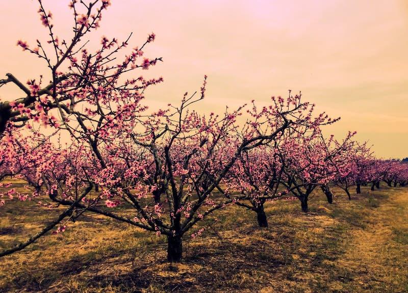 Rad av att blomstra för persikaträd royaltyfri bild