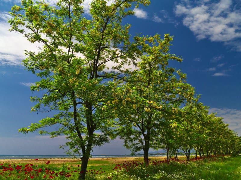 Rad av blosommed träd i grönt fied nära havet arkivfoton