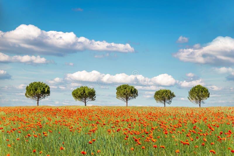 Rad av fem träd i ett organiskt vetefält med vallmo royaltyfria foton