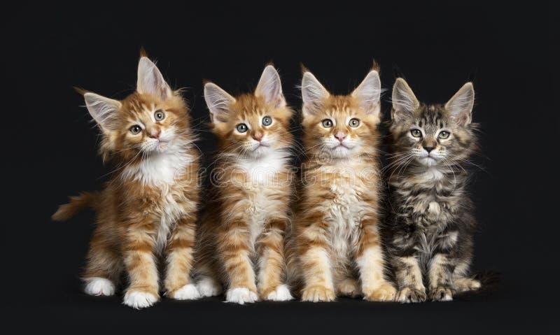 Rad av fyra Maine Coon katter arkivbild