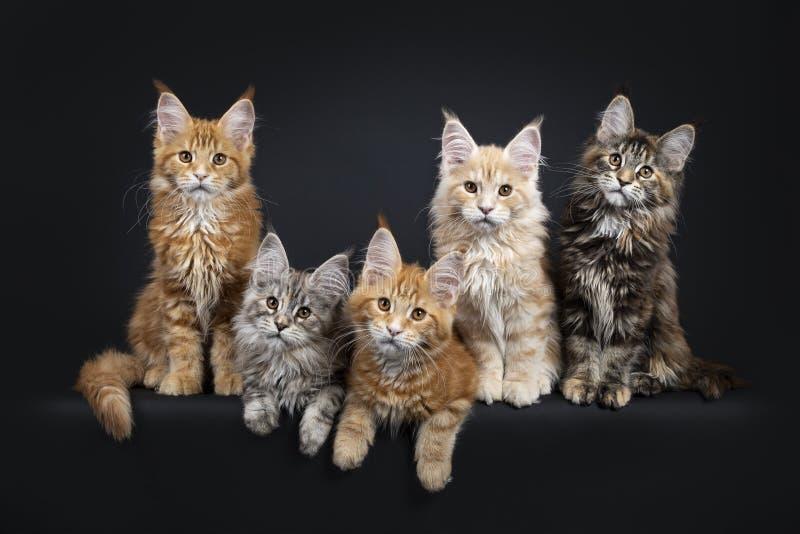 Rad av 5 m?ng- kul?ra Maine Coon kattungar p? svart arkivbild