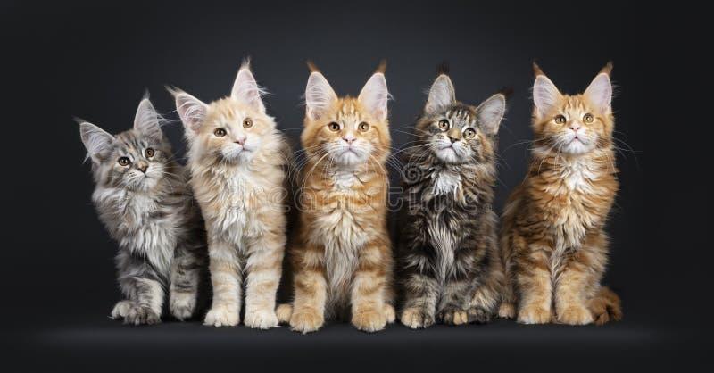 Rad av 5 m?ng- kul?ra Maine Coon kattungar p? svart royaltyfria foton