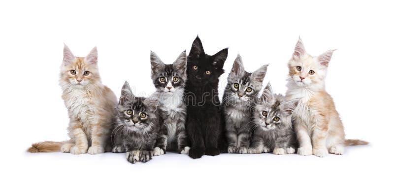 Rad av 7 Maine Coon kattungar på vit arkivfoto
