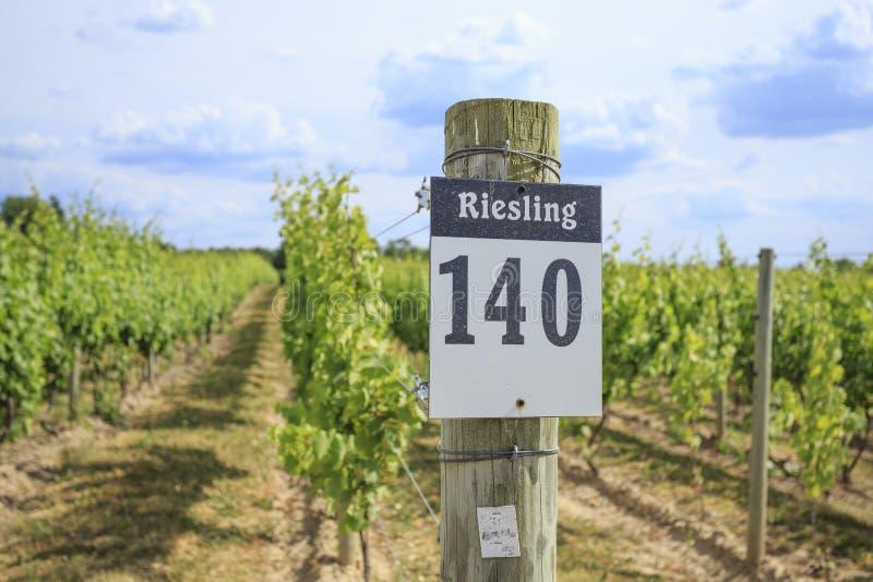 Rad av Riesling druvor i en vingård arkivbilder
