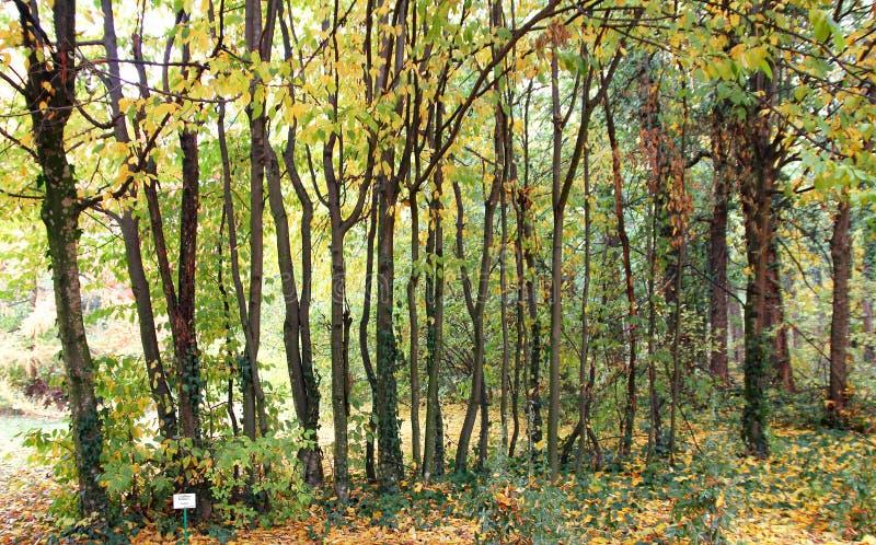 Rad av träd Carpinus Betulus på botaniska trädgården Macea, Arad County - Rumänien royaltyfria foton