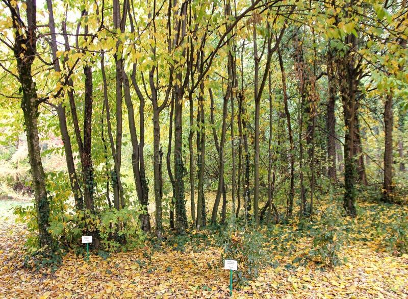 Rad av träd Carpinus Betulus på botaniska trädgården Macea, Arad County - Rumänien arkivfoton