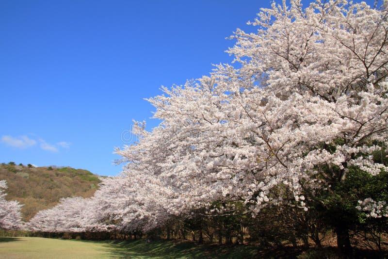 Rad av träd för körsbärsröd blomning i Izu arkivbild