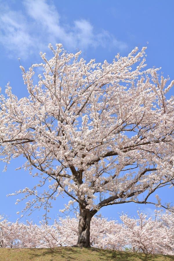 Rad av träd för körsbärsröd blomning på kursen Higashi Izu för argt land royaltyfri foto