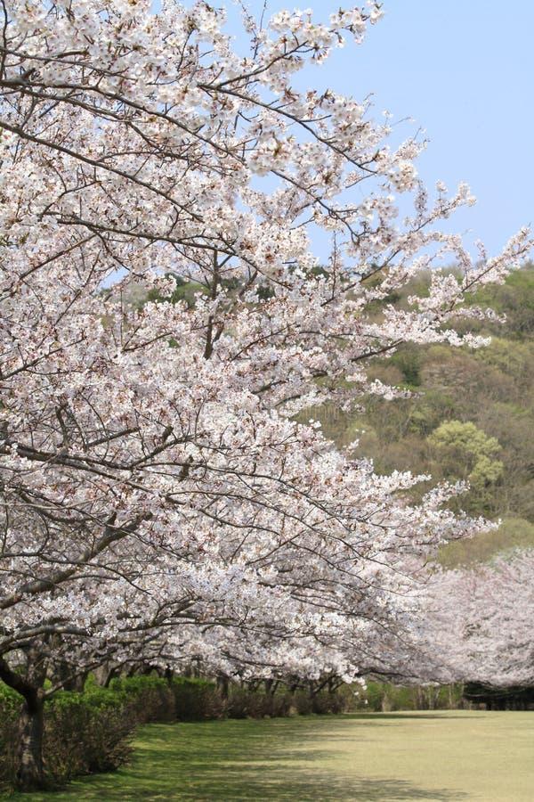Rad av tr?d f?r k?rsb?rsr?d blomning p? den Inatori h?glandet arkivfoton