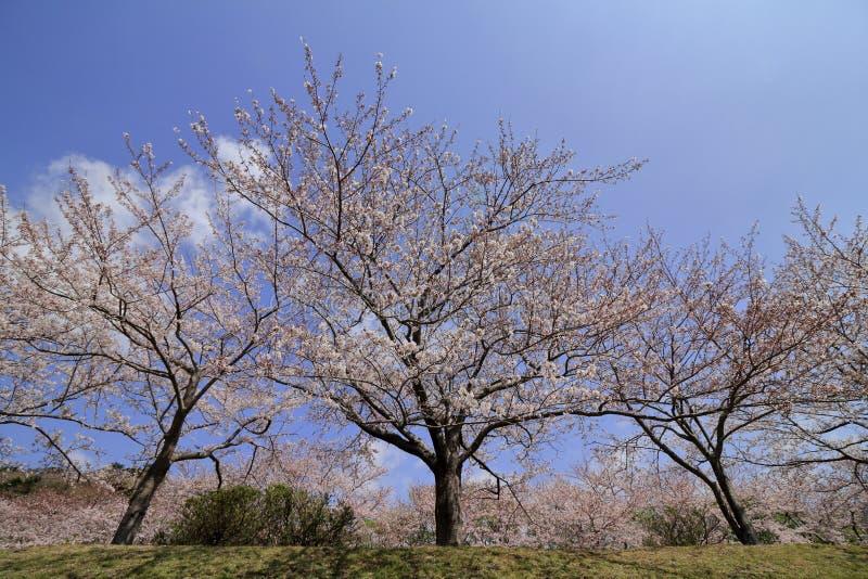 Rad av tr?d f?r k?rsb?rsr?d blomning p? den Inatori h?glandet royaltyfri foto