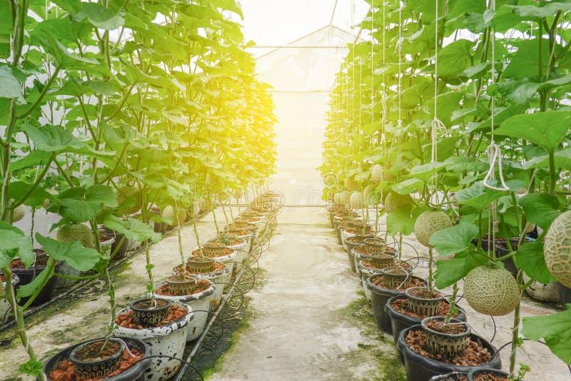 Rad för japansk växt för melon- eller cantaloupmelonfrukter växande i för trädträdgård för växthus organisk lantgård royaltyfria bilder