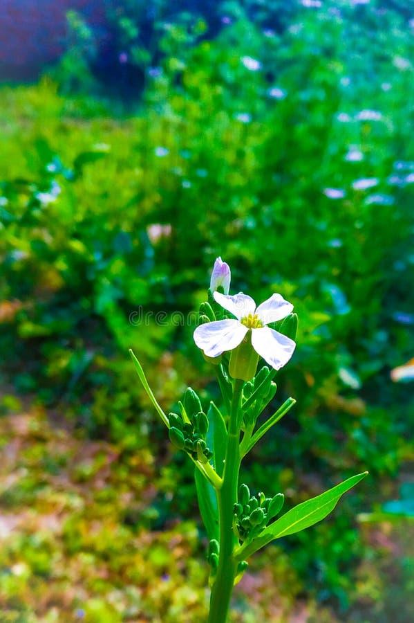 Raddish blomma i ensamhet royaltyfria foton
