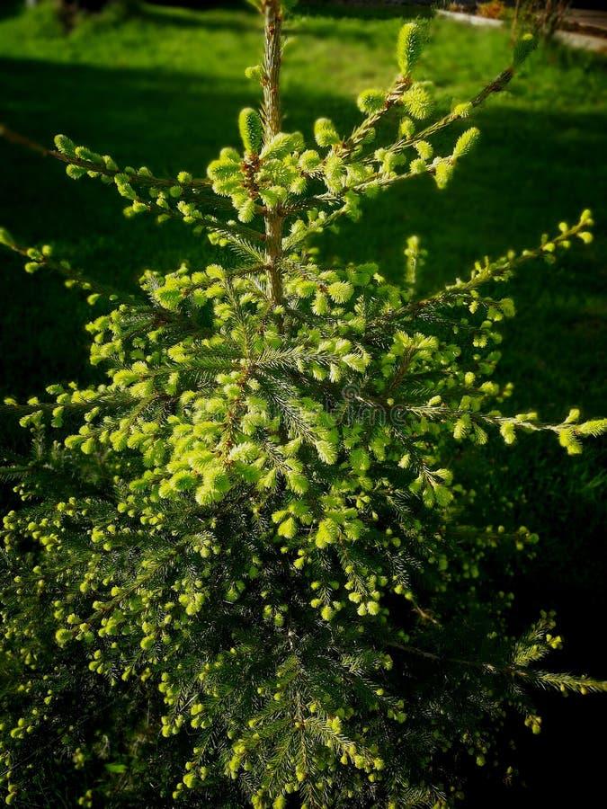 Raden av det högväxta smala unga granträdet i en vår parkerar träd som har ungt, vårgräsplansidor royaltyfria bilder