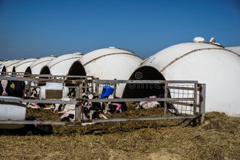 Raden av kalvhus på mejerilantgård, stabila askar för boskap i bubbla bildar royaltyfri foto