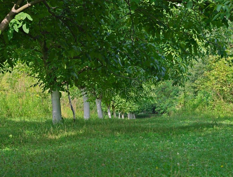 Raden av valnötträdstammar målade i vit och sidor royaltyfri bild