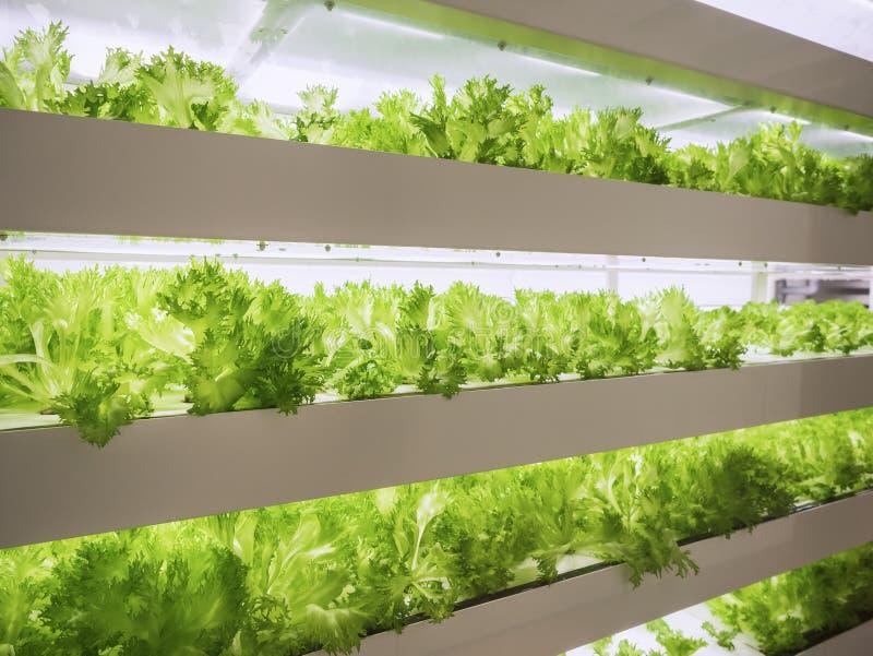 Raden för växthusväxten växer med LEDD ljus inomhus lantgårdjordbrukteknologi royaltyfri bild