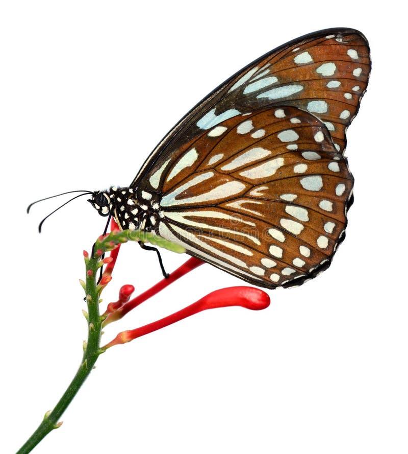 Radena-similis similis Schmetterling, der auf weißem Hintergrund, alias liuchiou Blau lokalisiert wurde, beschmutzte Milkweedschm lizenzfreie stockbilder