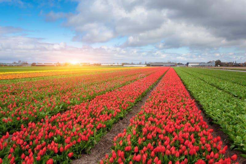 Rader av att blomma röda och gula tulpan royaltyfri fotografi