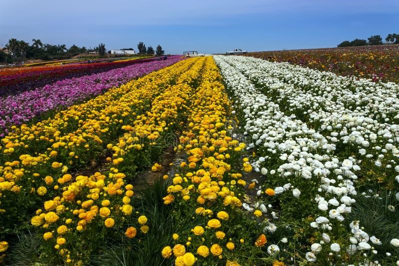 Rader av färgade blommor växer i Carlsbad royaltyfria bilder