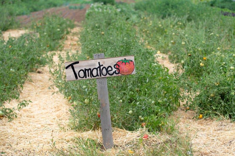 Rader av gröna växande tomatväxter arkivfoton