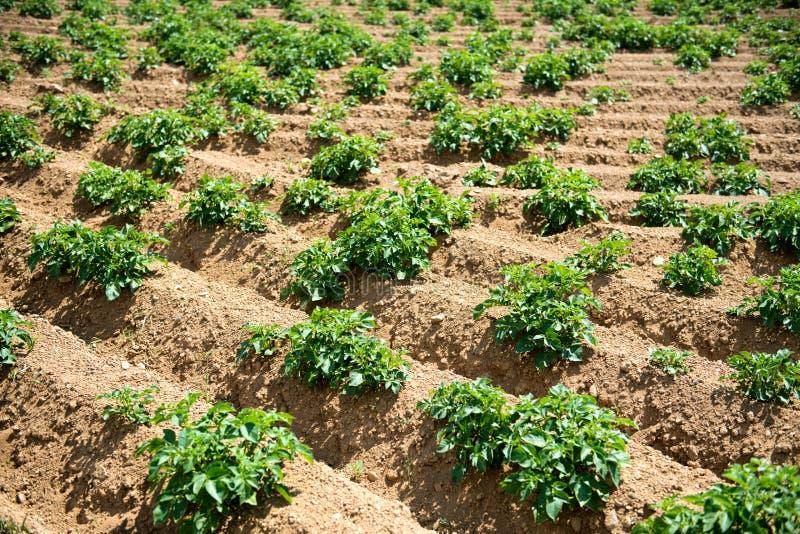 Rader av gröna växter som växer i lantgårdfält royaltyfri bild