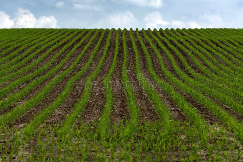 Rader av grönt korn för barn som sås på fält arkivfoto