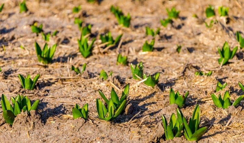 Rader av oöppnade tulpan i ett holländskt kulafält i tidig vår arkivfoto