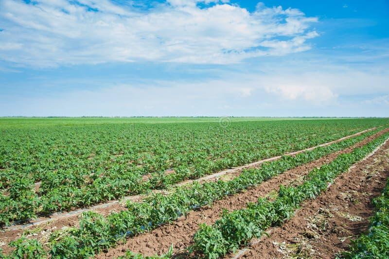 Rader av tomatväxter royaltyfri foto