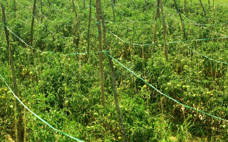 Rader av trädfilialer stöttar unga tomatväxter arkivfoton