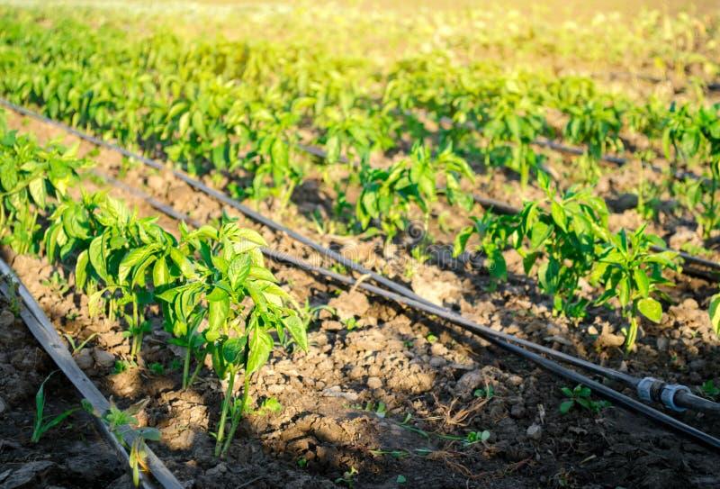 Rader av ung peppar på en lantgård på en solig dag Växande organisk grönsaker och droppbevattning Eco-v?nskapsmatch produkter Jor arkivbilder