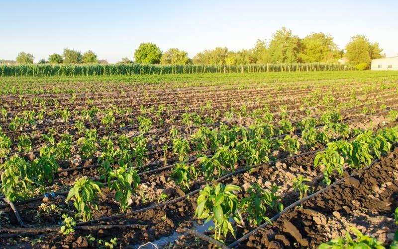 Rader av ung peppar på en lantgård på en solig dag Växande organisk grönsaker och droppbevattning Eco-v?nskapsmatch produkter Jor royaltyfria foton