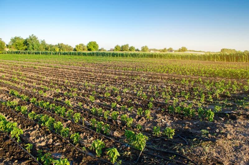 Rader av ung peppar på en lantgård på en solig dag Växande organisk grönsaker och droppbevattning Eco-v?nskapsmatch produkter Jor royaltyfria bilder