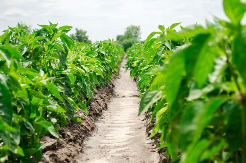 Rader av ung peppar på en lantgård på en solig dag V?xande organiska gr?nsaker Eco-v?nskapsmatch produkter Åkerbrukt land och bru arkivbild