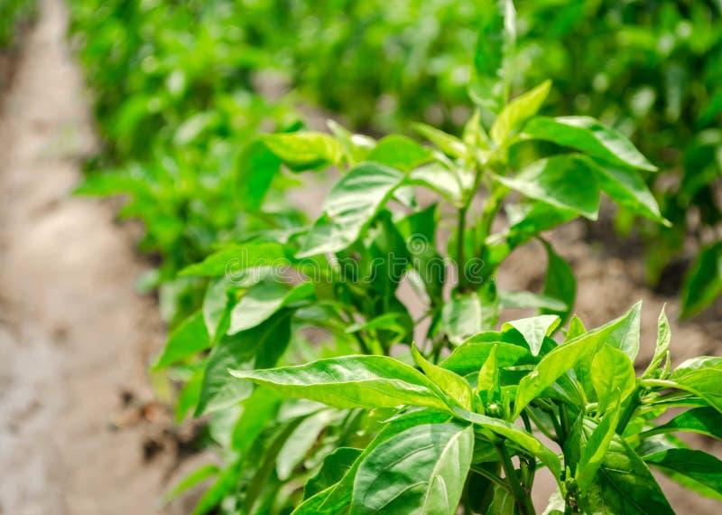 Rader av ung peppar på en lantgård på en solig dag V?xande organiska gr?nsaker Eco-v?nskapsmatch produkter Åkerbrukt land och bru royaltyfri foto