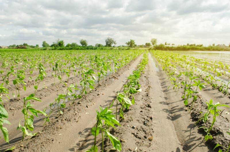 Rader av ung peppar växer i fältet Växande organiska bio grönsaker på lantgården ?kerbruk lantbruk plantor royaltyfri bild
