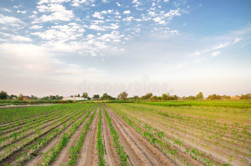Rader av ung peppar växer i fältet Växande organiska bio grönsaker på lantgården ?kerbruk lantbruk plantor Ukraina, royaltyfri fotografi