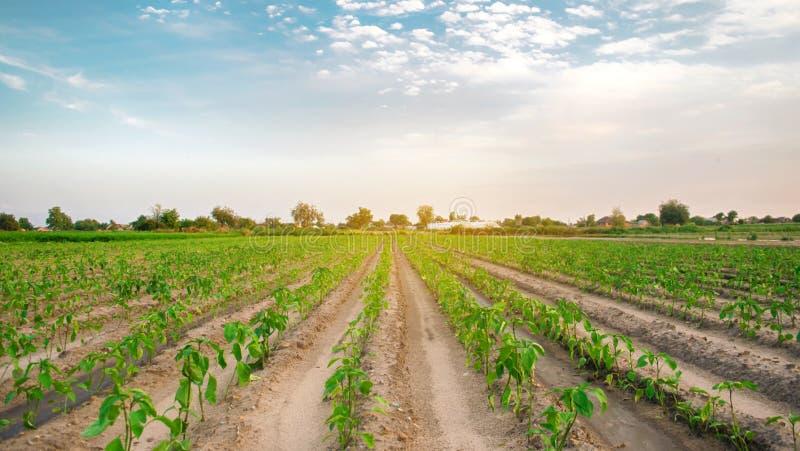 Rader av ung peppar växer i fältet Växande organiska bio grönsaker på lantgården ?kerbruk lantbruk plantor Ukraina, royaltyfria bilder