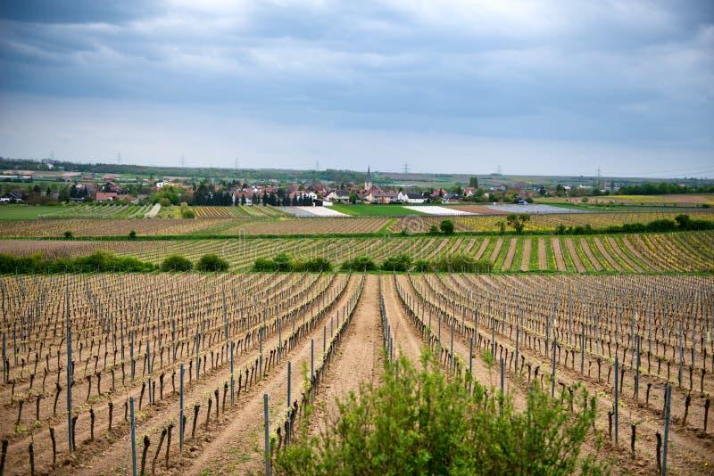 Rader av unga druvavinrankor som växer i vinodlingfält arkivbild